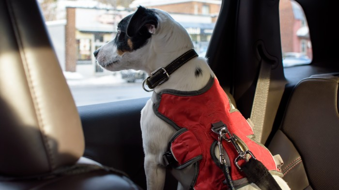 A dog in a red harness looking out of a car window