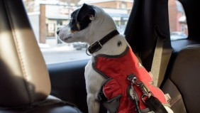 A picture of a dog in a red harness in a car