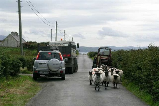 Sheep on a road