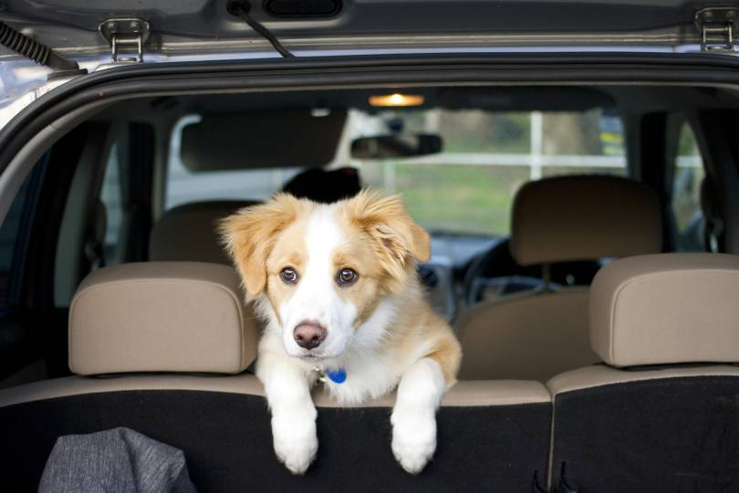 A puppy looking over the back seat of a car into the boot