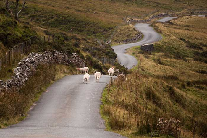 Brecon mountain road with sheep grazing